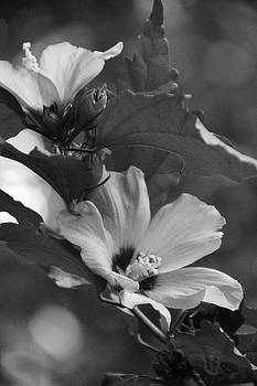 Hibiscus5586 bw by Carolyn Stagger Cokley