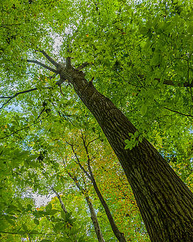 Hickory tree, Fischer Old Growth Forest by Paul Duncan
