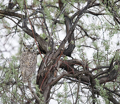 Max Waugh - Hidden Great Horned Owl