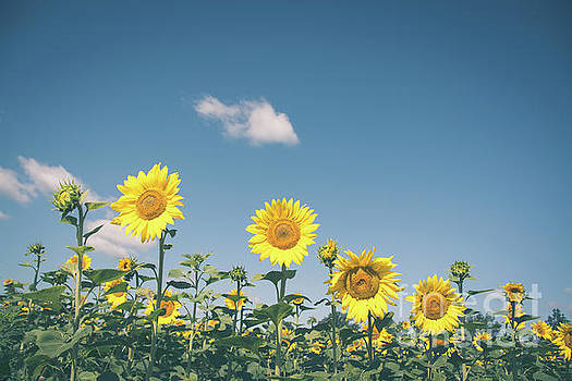 Hierarchy of Sunflowers by Cheryl Baxter