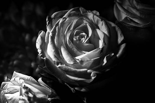 High contrast monochrome roses by Stephanie Johnson