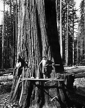 Daniel Hagerman - HIGH on a GIANT SEQUOIA c. 1880