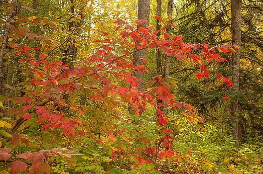 Highbush Cranberry by Jim Sauchyn