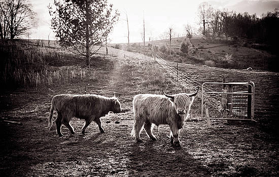 Highland Cattle by Cynthia Wolfe
