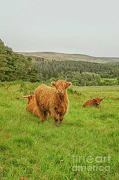 Highland cattle by Patricia Hofmeester