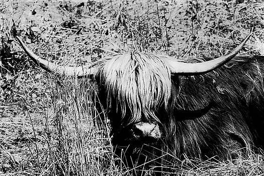 Highland Cow in Grass by Dirk Wuestenhagen