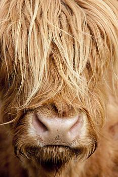 Highland Cow by Karen Van Der Zijden