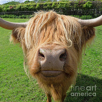 Highland cow nose by Steev Stamford