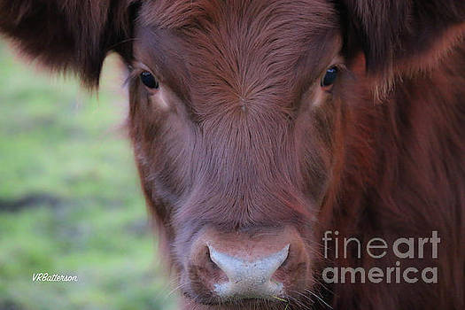 Highland Cow by Veronica Batterson