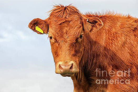 Highlander calf by Patricia Hofmeester