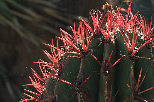 Highlighted Cactus Spines by Judy C Moses