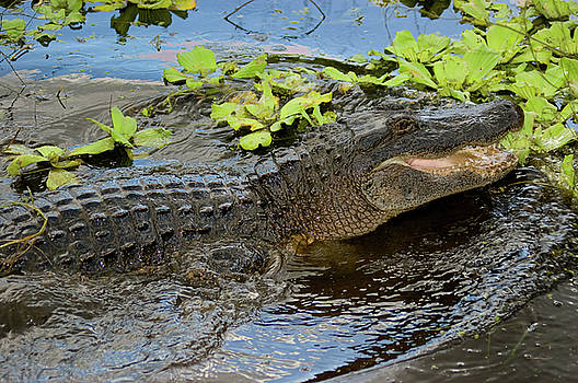 Highly Aggressive Alligator by Rich Leighton