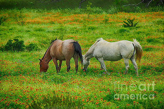 Hill Country Horses in Spring by Toma Caul