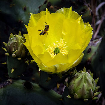 Hill Country Yellow Prickly Pear Cactus and Bee by Greg Reed