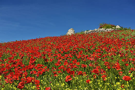 Reimar Gaertner - Hill with wild Red Poppies and Yellow Rocket weeds with rock out