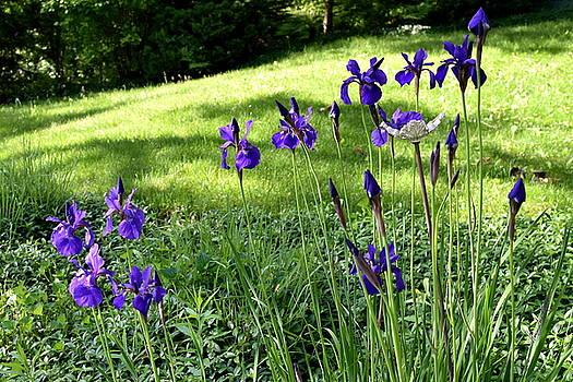 Hanne Lore Koehler - Hillside Iris Garden