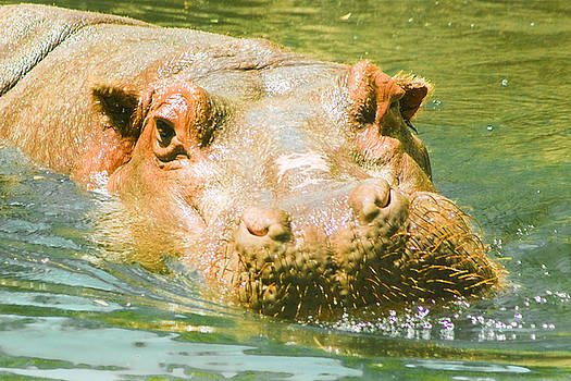 Hippopotamus Close Up by Kimberly Blom-Roemer