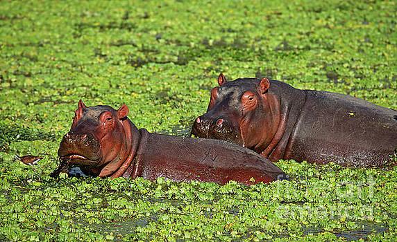 Hippos at South Luangwa, Zambia by Wibke W