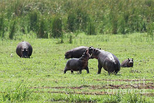 RicardMN Photography - Hippos fighting in Manyara