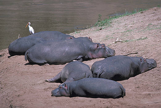 Hippos on the Mara River in Kenya by Carl Purcell