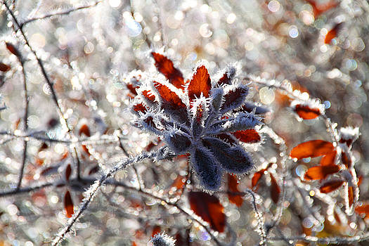 Peggy Collins - Hoar Frost - Nature