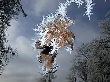 Hoarfrost On Oak Leaves by Patricia Whitaker