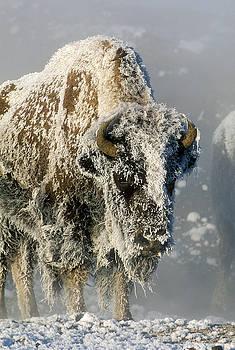 Sandra Bronstein - Hoarfrosted Bison in Yellowstone