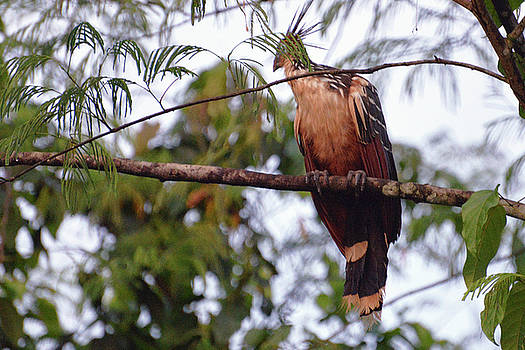 Harvey Barrison - Hoatzin or the bird that did not get the message that they are not dinosaurs