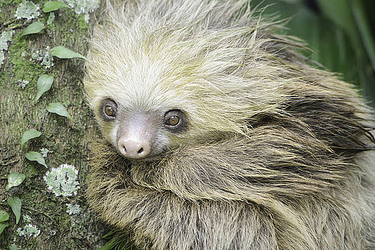 Hoffman's Two-toed Sloth by Thomas Chamberlin