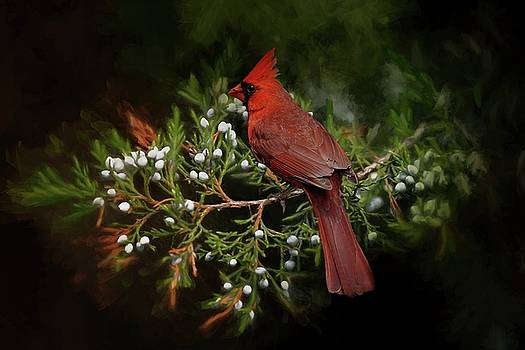 Holiday Red Cardinal by TnBackroadsPhotos