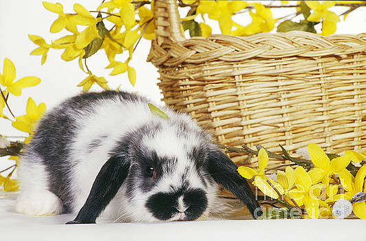 Carolyn A McKeone - Holland Lop Rabbit With Basket