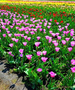 LeeAnn McLaneGoetz McLaneGoetzStudioLLCcom - Holland Tulips