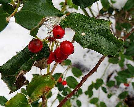 Holly Berries in the Snow by Paula Anderson