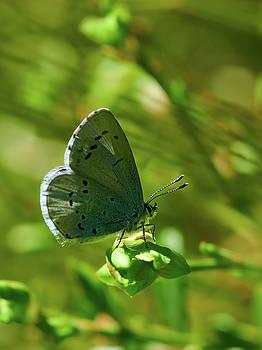 Holly blue by Jouko Lehto