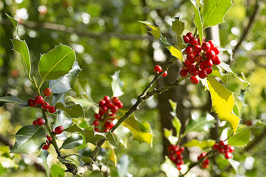 Holly With Berries by Chevy Fleet