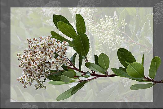 Heteromeles arbutifolia - Toyon by Saxon Holt