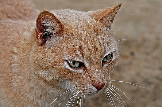 Pedro Cardona Llambias - home cat bob