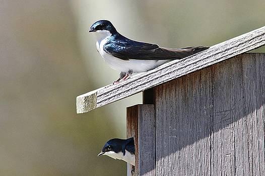Home Sweet Home - Tree Swallows by Linda Crockett