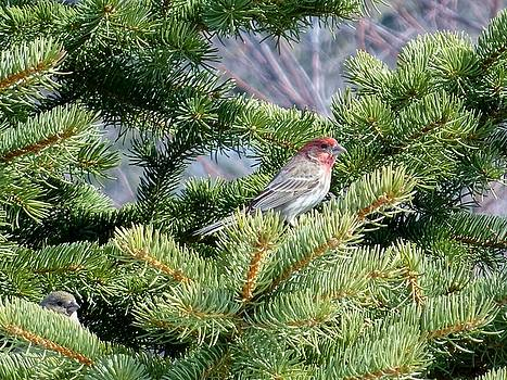 Home Sweet House Finch by Red Cross