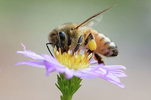Honey Bee and Aster by Mark Horton