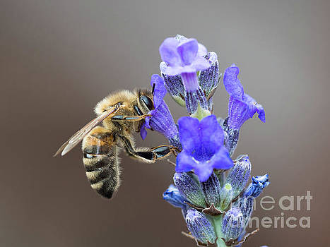 Honey Bee - Apis mellifera - feeding on Lavender by Paul Farnfield