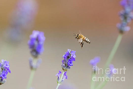 Honey Bee - Apis mellifera - flying through lavender in flower by Paul Farnfield