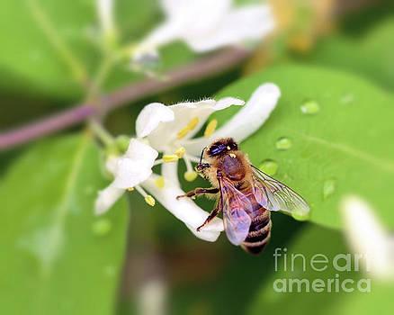 Honey Bee in the Honeysuckle by Kerri Farley