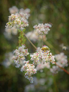 Honey Bee on Buckwheat Flowers by Alexander Kunz