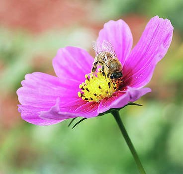 Honey Bee on Pink Flower by Eneida Gastal-Keith