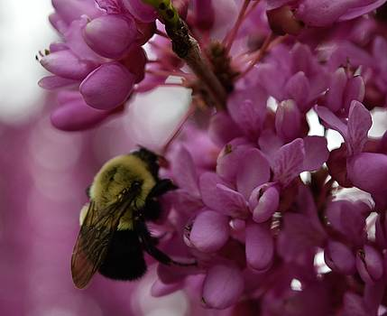 Honey Bee on Redbud by Renee Olson