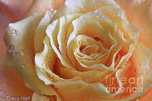 Honey Peach Rose by Tracy Hall