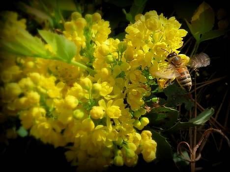 Leah Grunzke - Honeybee on a Mahonia