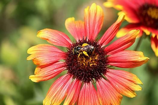 Honeybee on Blanket Flower by Theresa Willingham