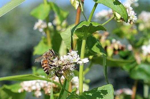Honeybee on Buckwheat 2 by Bethany Benike